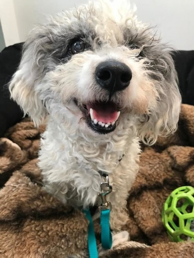 ChaCha is a big fan of her comfy bed. Learn more about adopting this mini Poodle/Havanese mix!