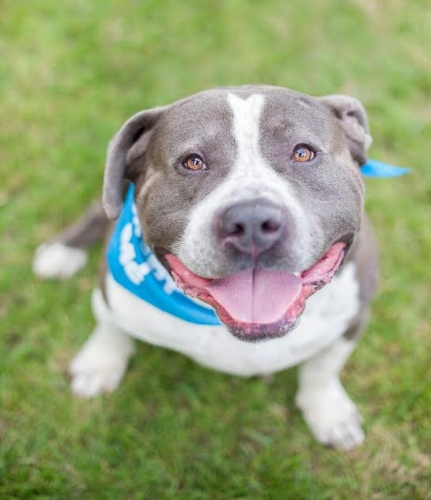 Wags and Walks_Available_Pit Bull_Frankie