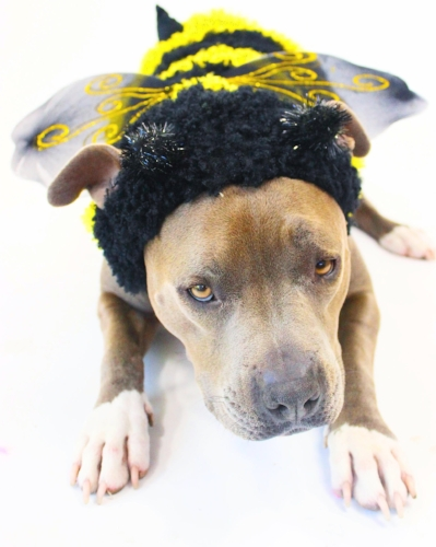 Wags and Walks_Halloween_Bumblebee
