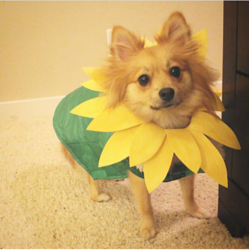 Wags and Walks_Halloween_Sunflower