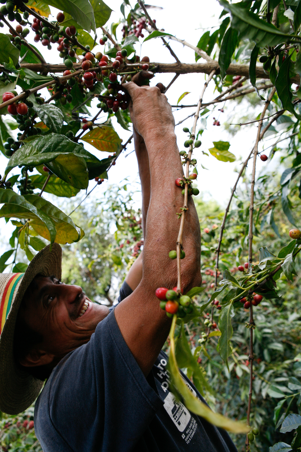 Timo harvesting ripe coffee fruit in San Miguel Escobar.