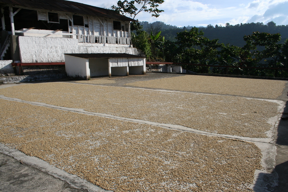 Coffee drying in La Suiza.JPG
