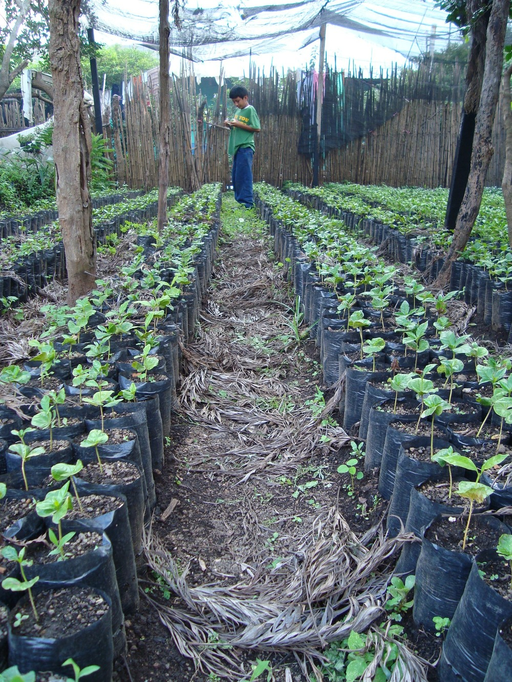 coffee nursery.JPG
