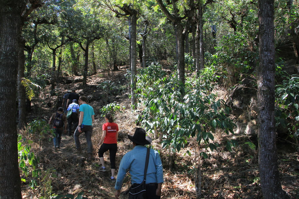 Hiking through the shade trees and coffee plants in Ija'tz on the slopes of the Toliman Volcano