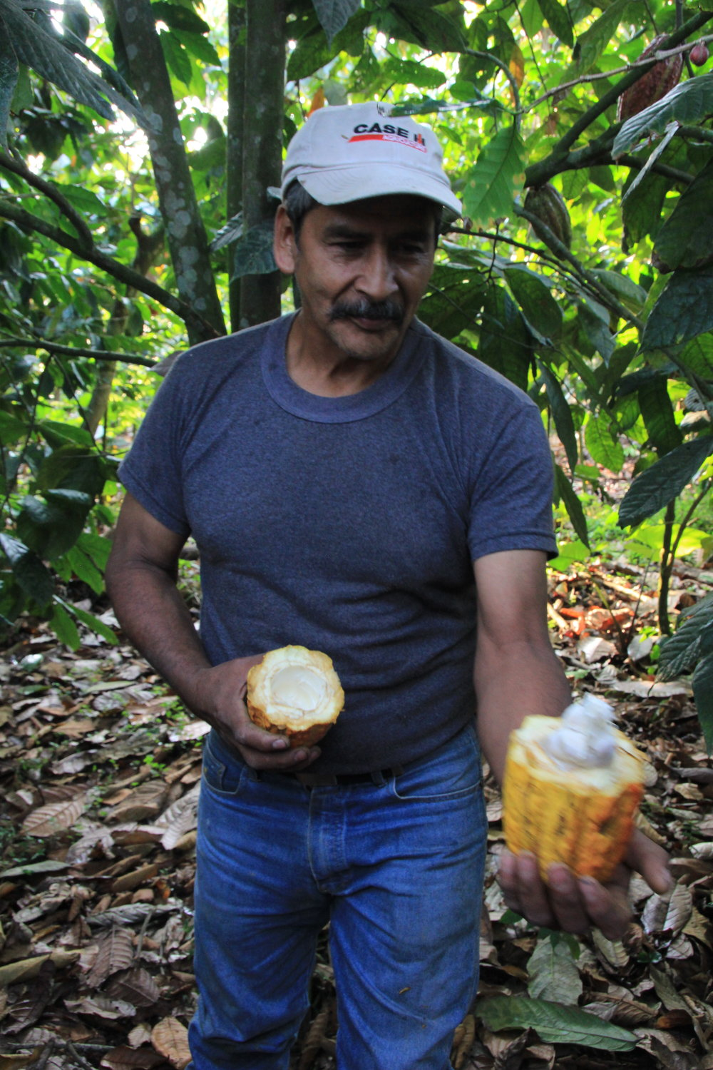 Mincho, a member of the Santa Anita Co-op grows Cacao Trees among his coffee plants, he can sell the fruit and the ones that fall contribute rich nutrients to his soil.