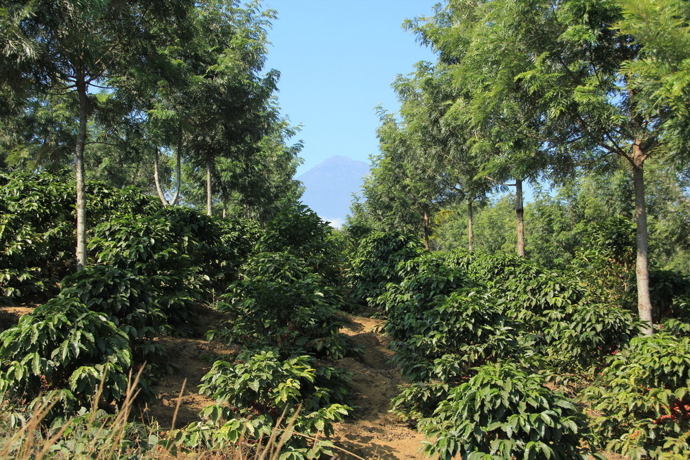 Shade trees on one of the co-op members land in San Miguel Escobar