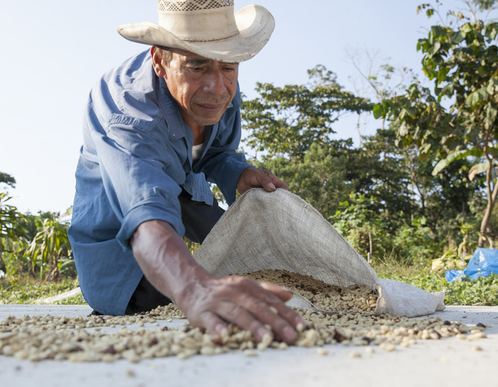 Santa Anita farmer bagging  café pergamino