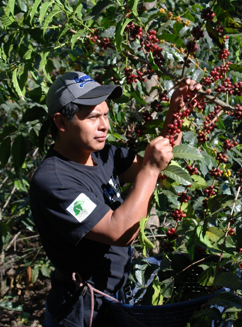 Eduardo beginning his second coffee harvest.
