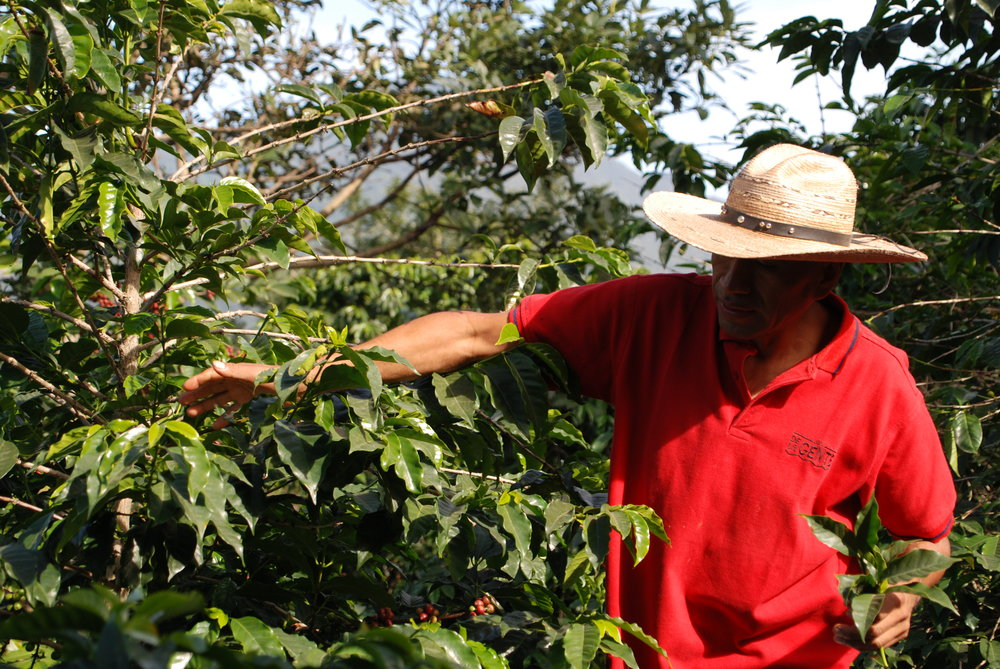 Félix in his coffee field