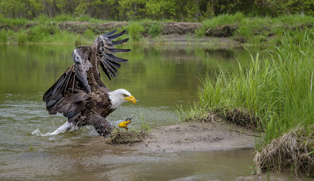 Bald eagle water shot web.jpg