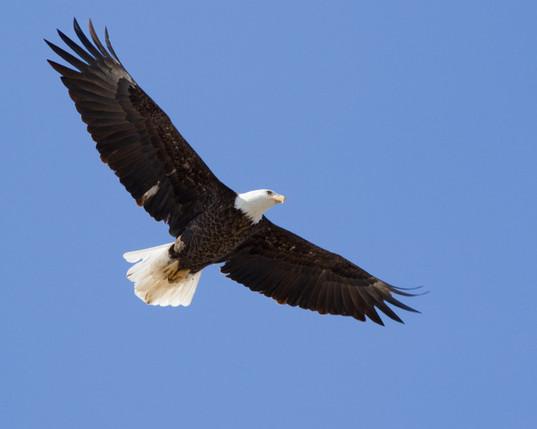 BC Bald Eagles 2.jpg