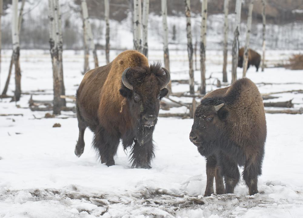 Yukon Woodland Bison.jpg