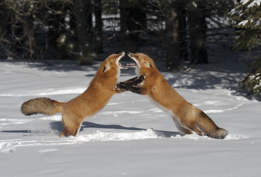 fox fight 2 - Copy.jpg