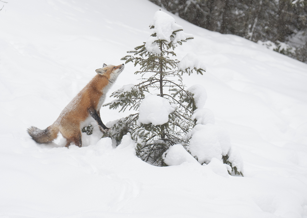 fox smelling a cedar tree - Copy.jpg