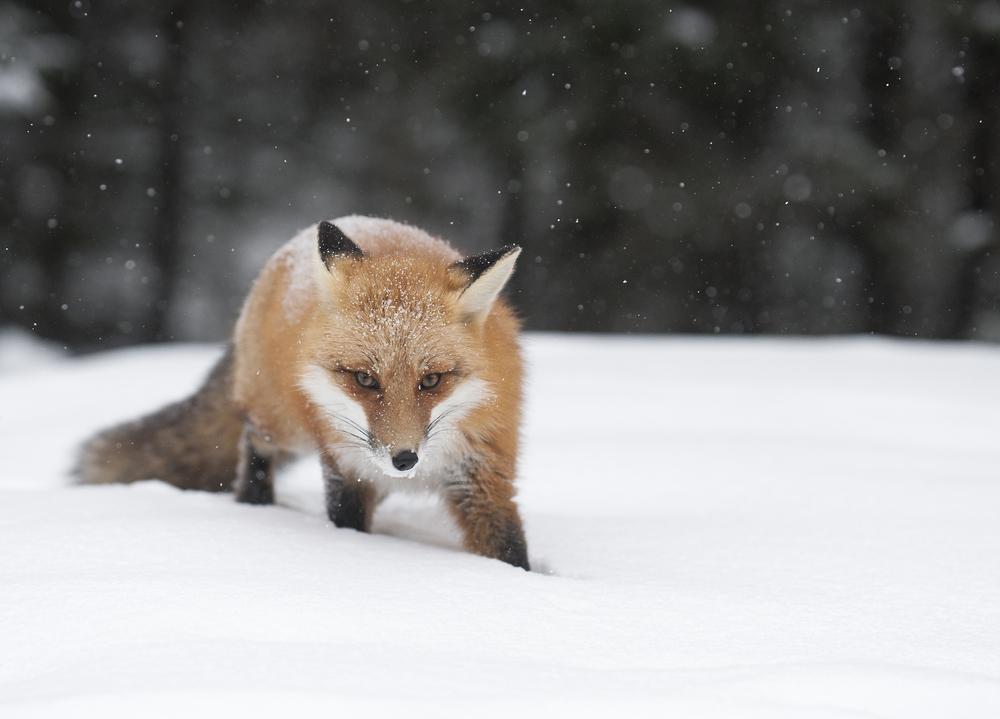 fox in the winter - Copy.jpg