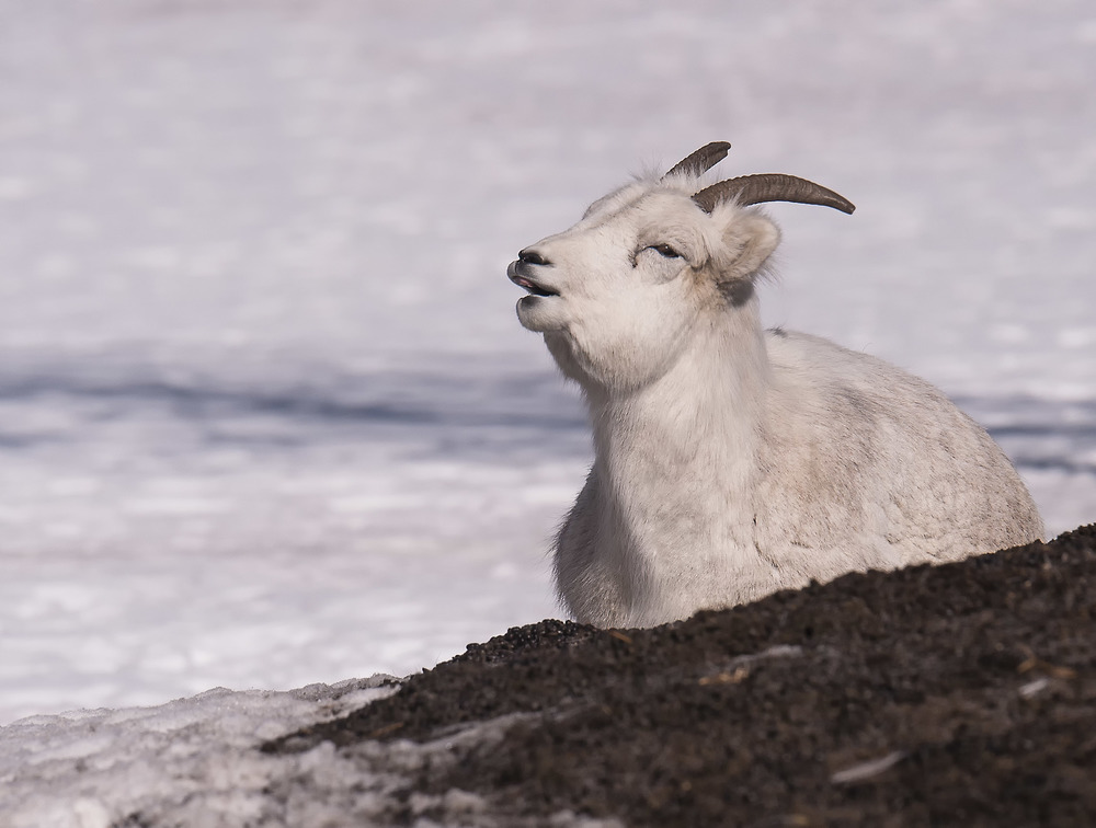 thinhorn sheep in yukon.jpg