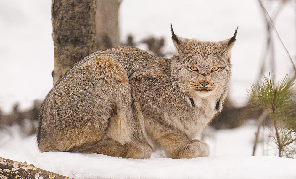 canadian lynx.jpg