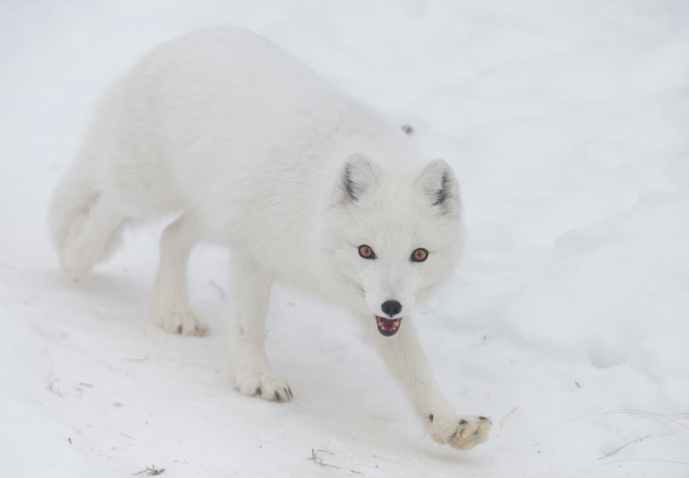 arctic fox in the yukon.jpg