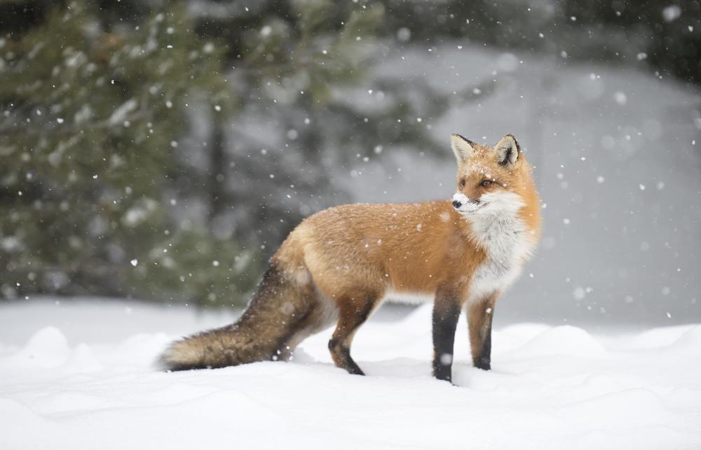 algonquin fox_web.jpg