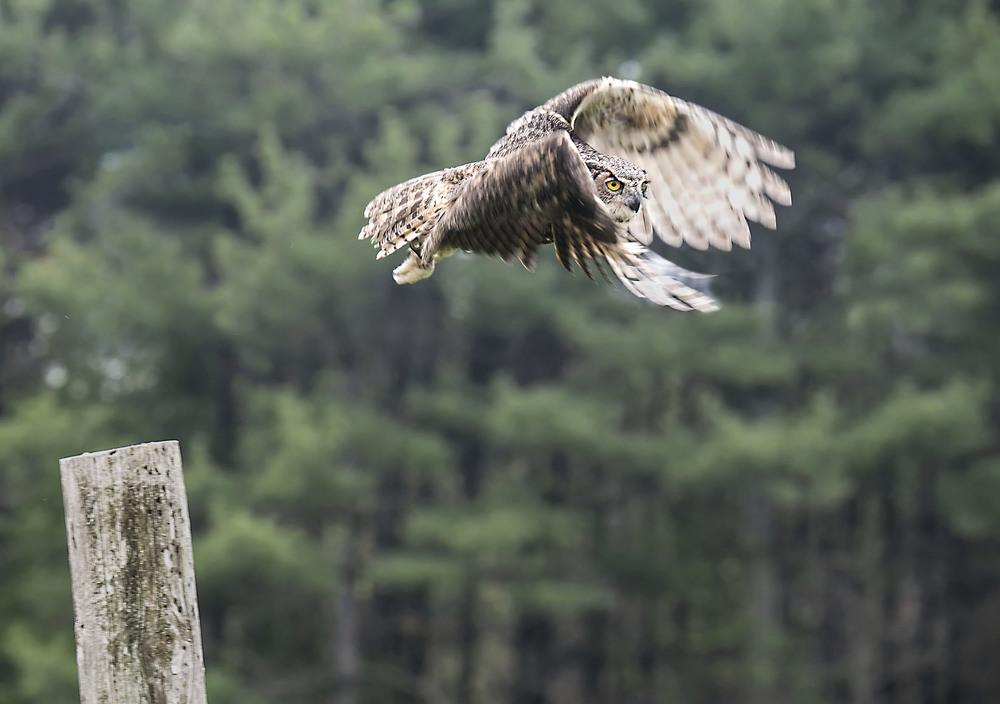 great horned owl in flight with slow shutter speed.jpg