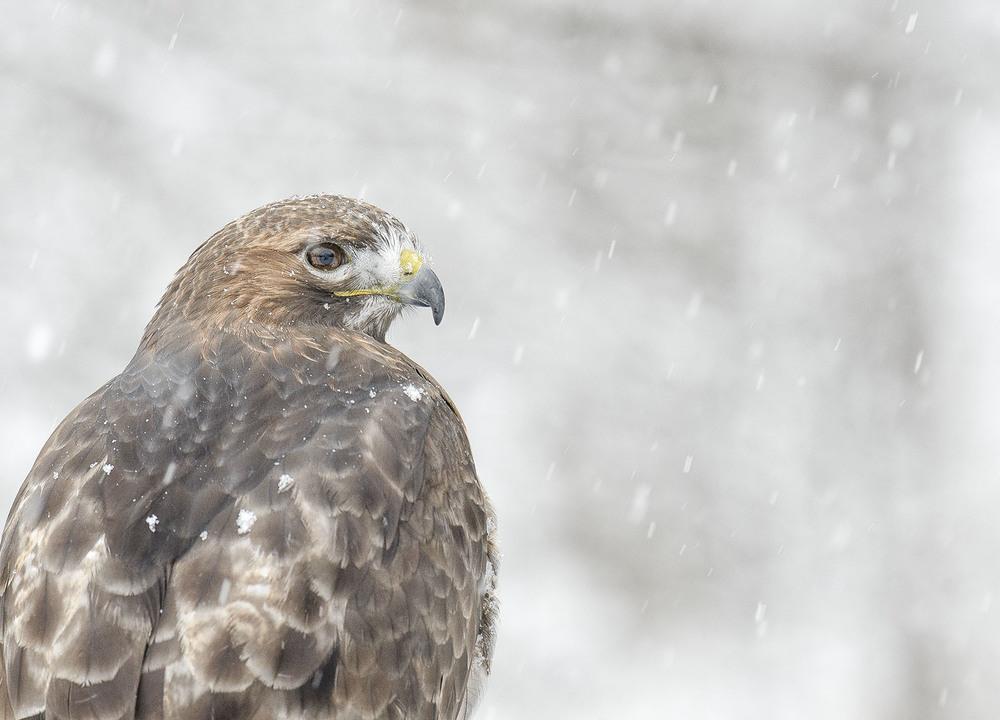 red tail hawk in winter.jpg