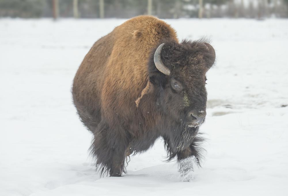 woodland bison.jpg