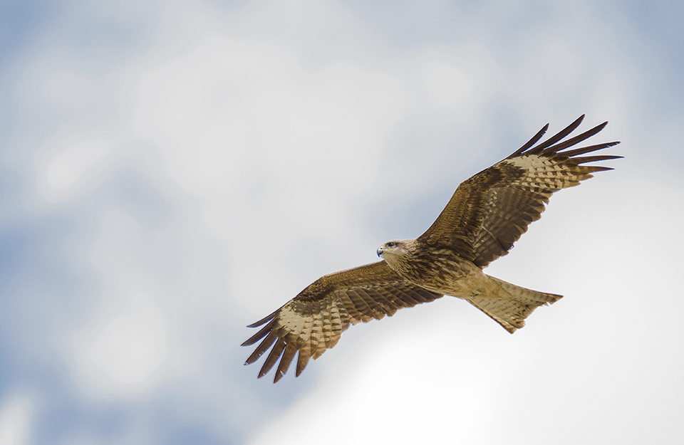 Eastern Marsh Harrier.jpg