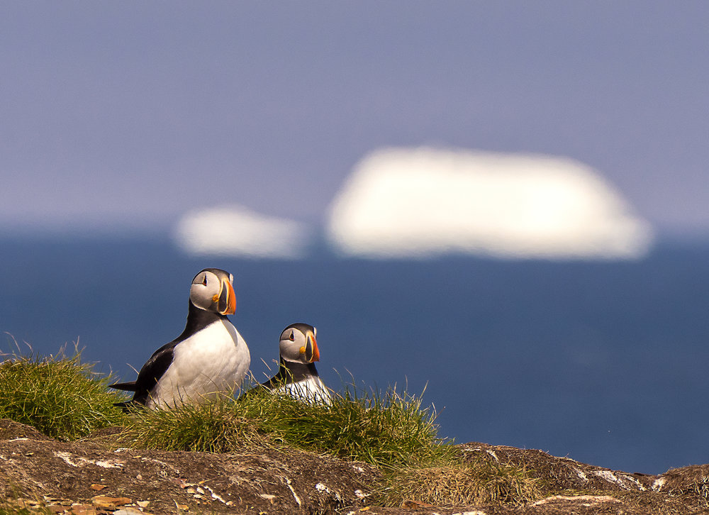 puffins and icebergs.jpg