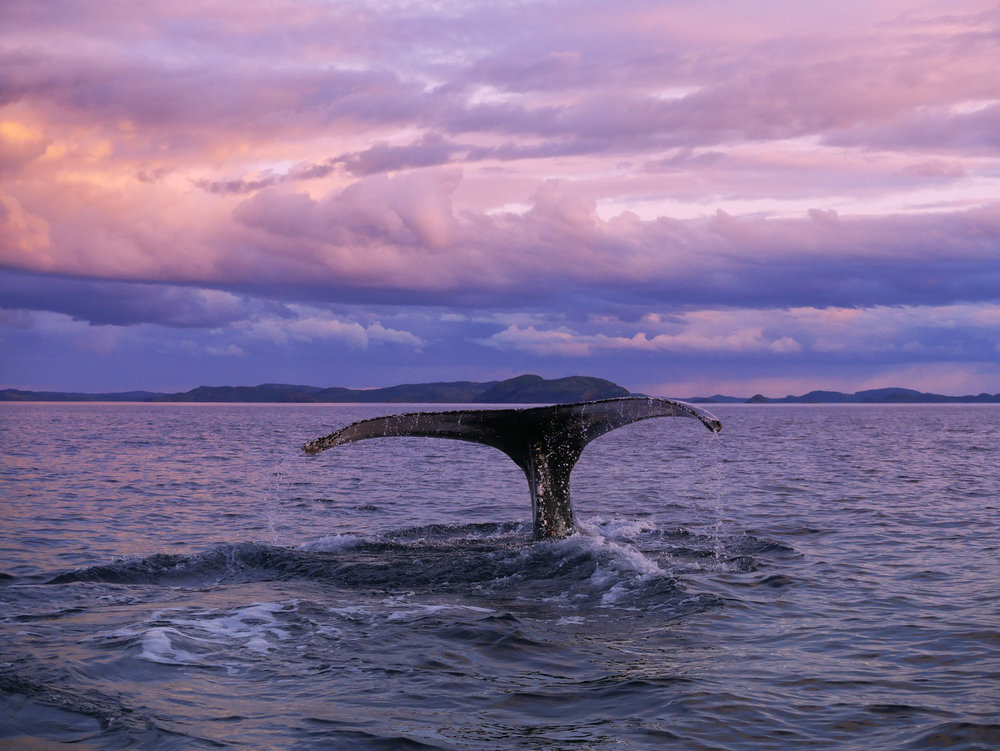 whale tail with magenta sky.jpg