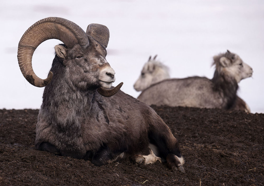 thinhorn sheep.jpg