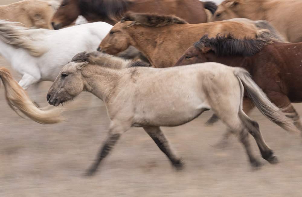 mongolian horse_motion blur.jpg