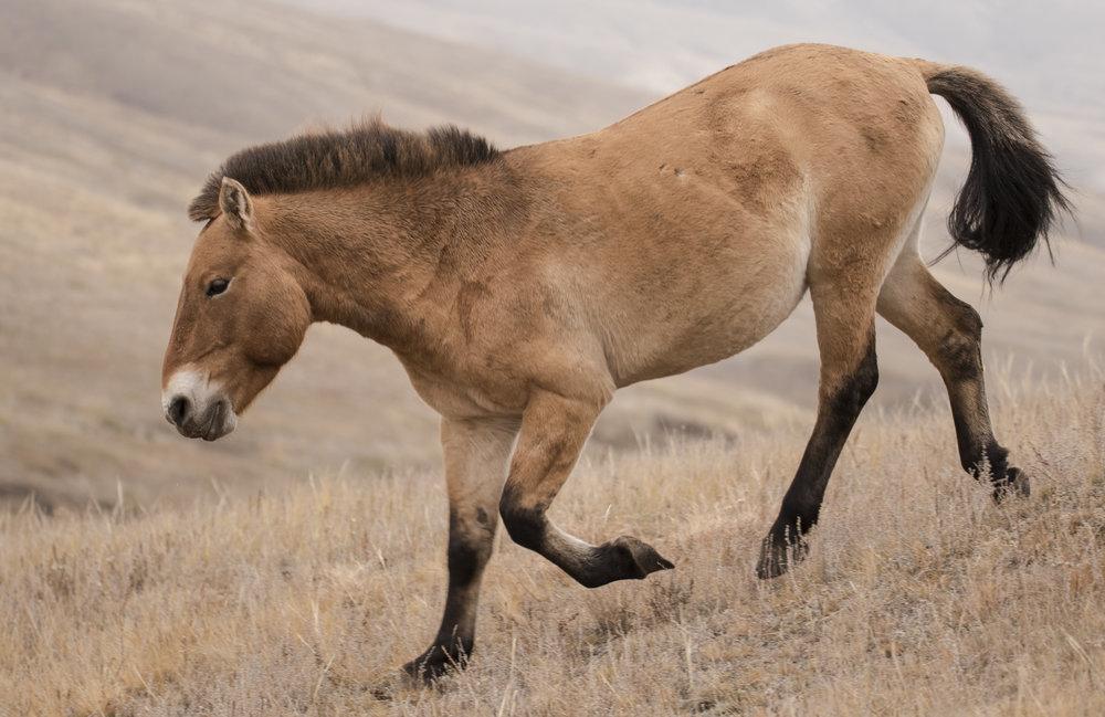 Przewalski horse3.jpg