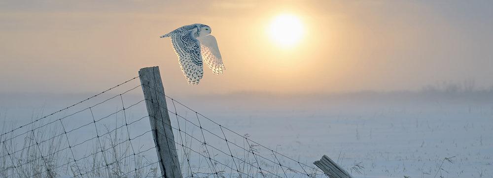 snowy owl flight at dawn web.jpg