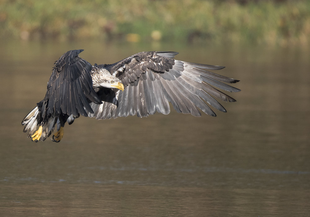 Copy of Copy of bald eagle in the fraser river by kevin pepper