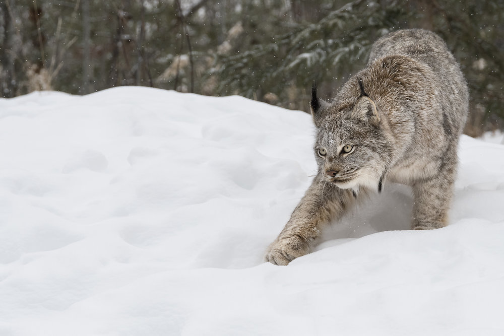 canada lynx YWP.jpg