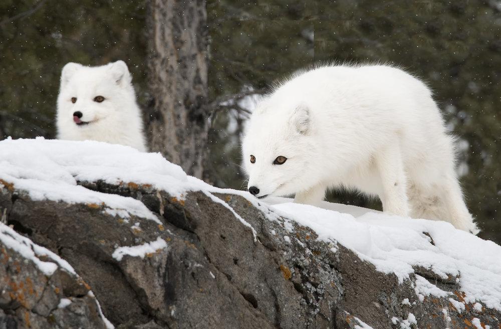 two arctic fox.jpg