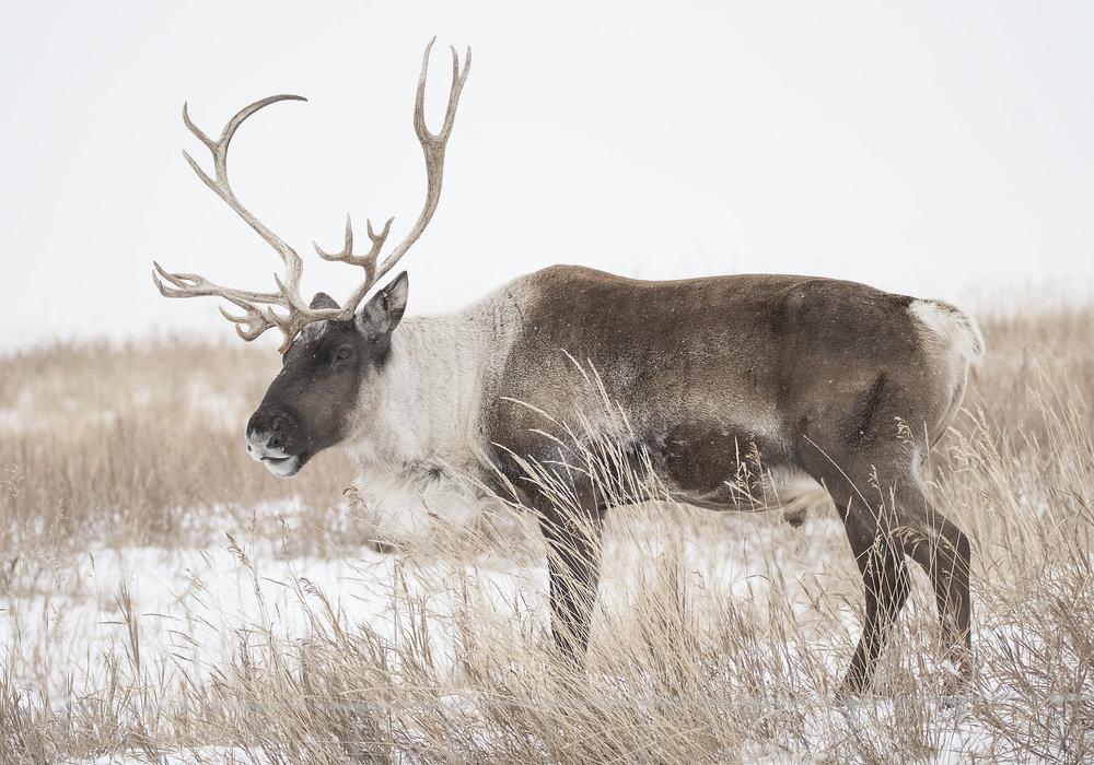 yukon caribou.jpg