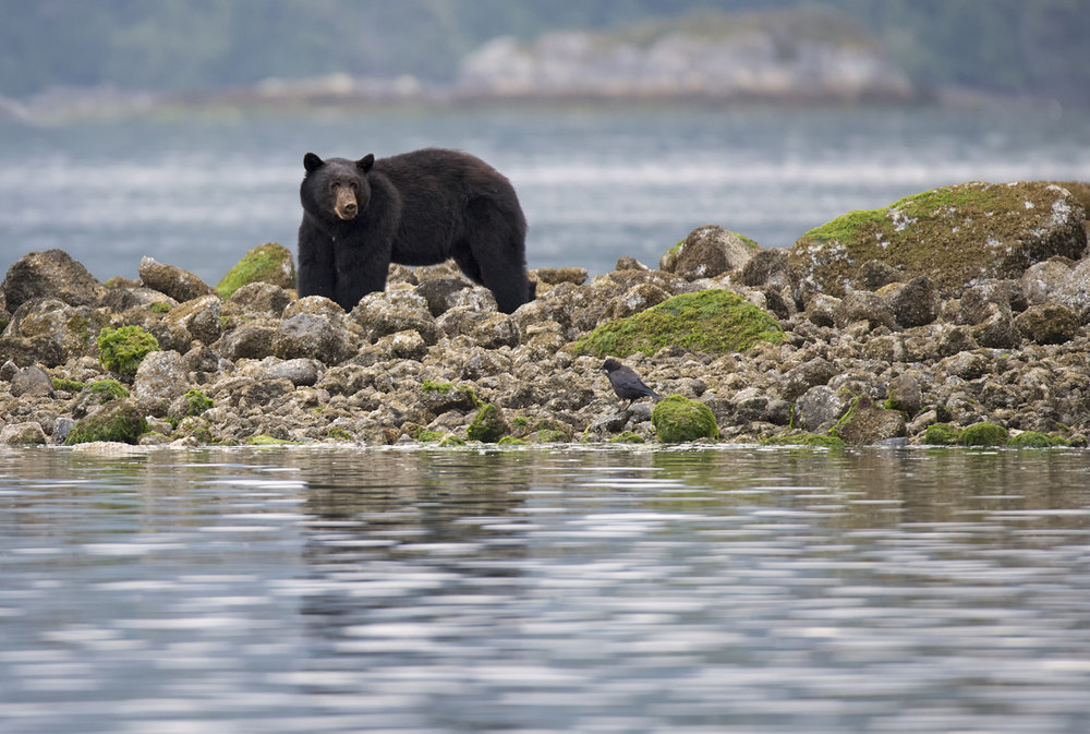 black bear wanders the shoreline in Tofino.jpg
