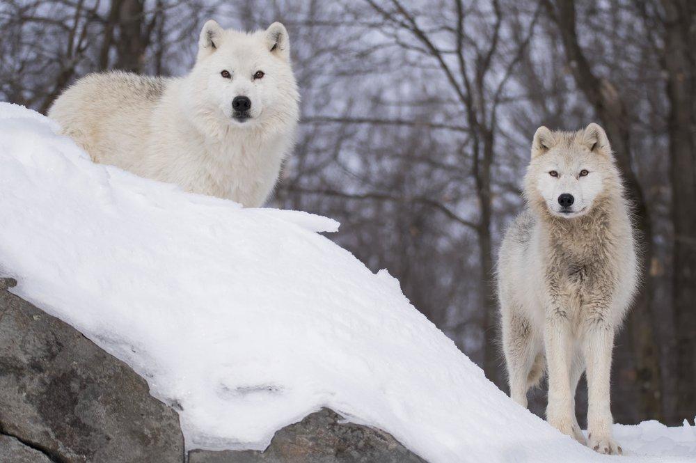 arctic wolves.jpg