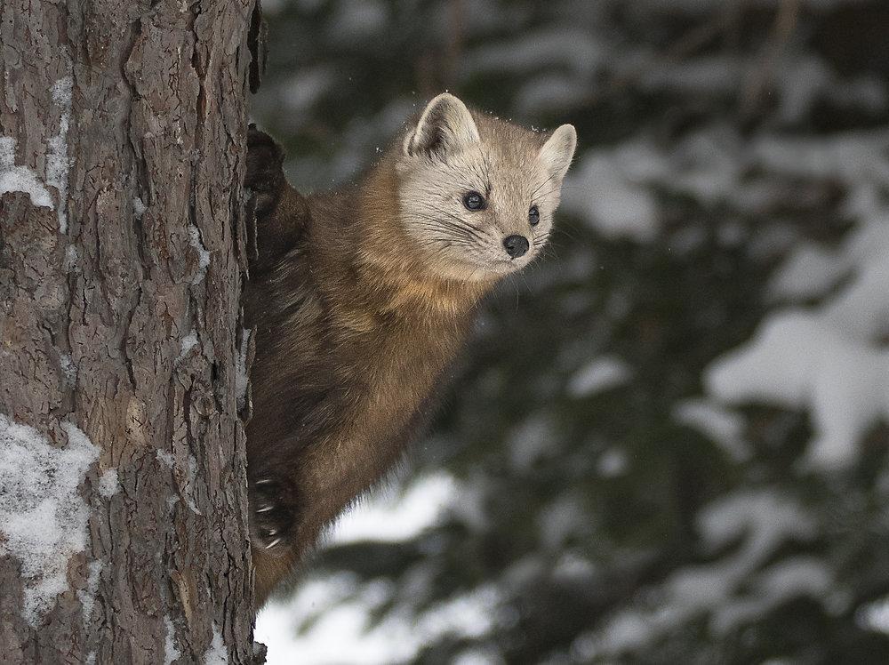 pine marten in a tree.jpg