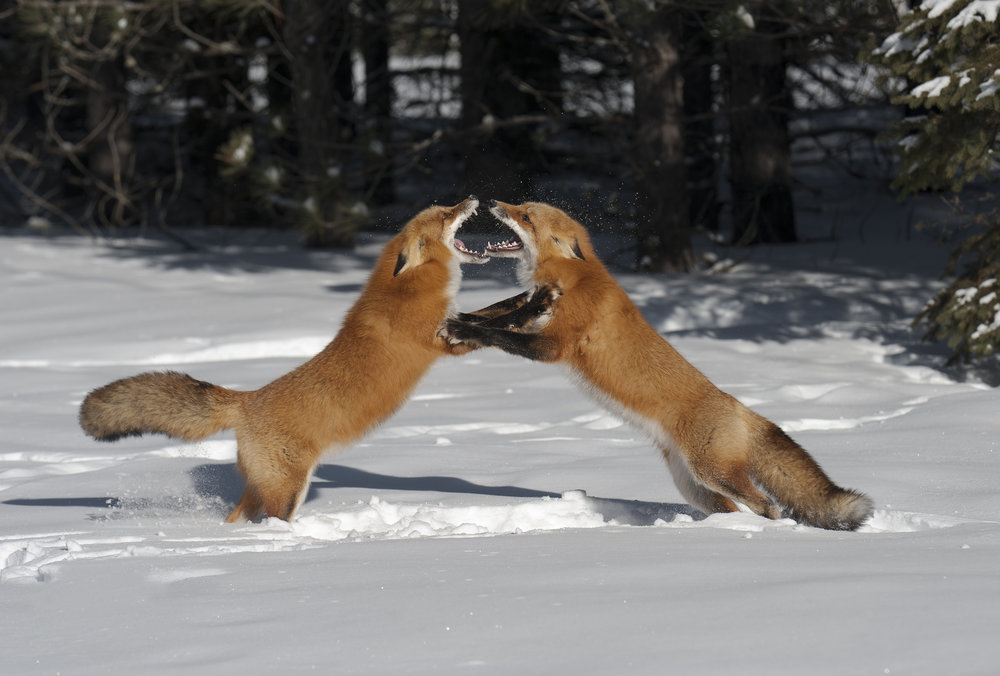 fox fight 2 - Copy.jpg