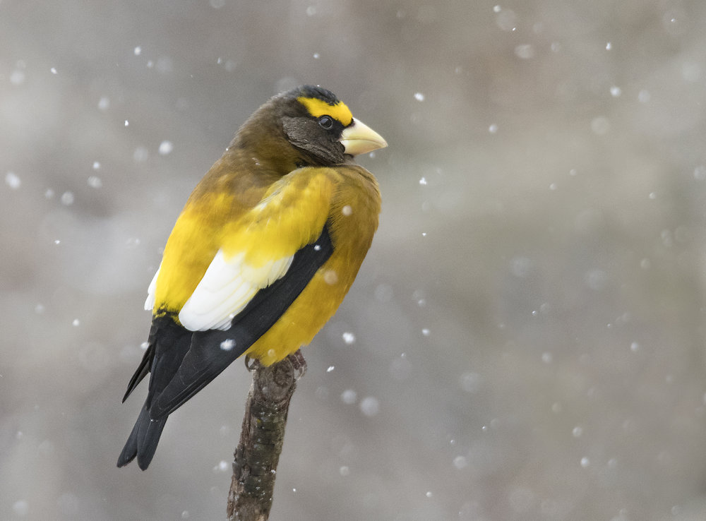 Evening Grosbeak.jpg