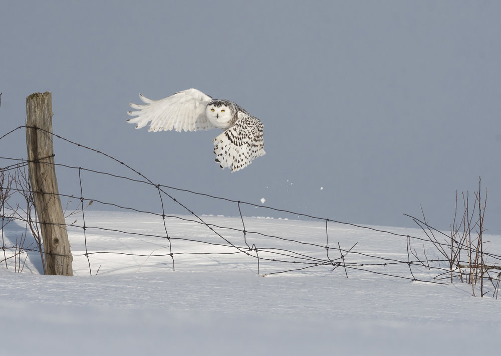 snowy owl launching from fenceline.jpg