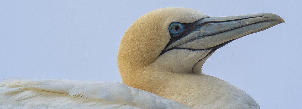 northern gannet.jpg