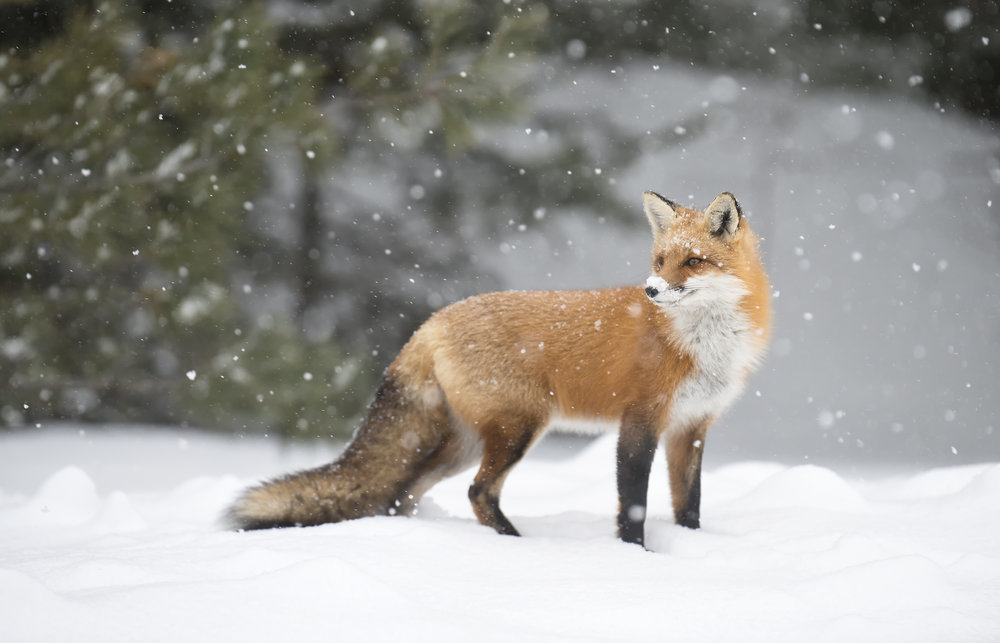 red fox in algonquin park