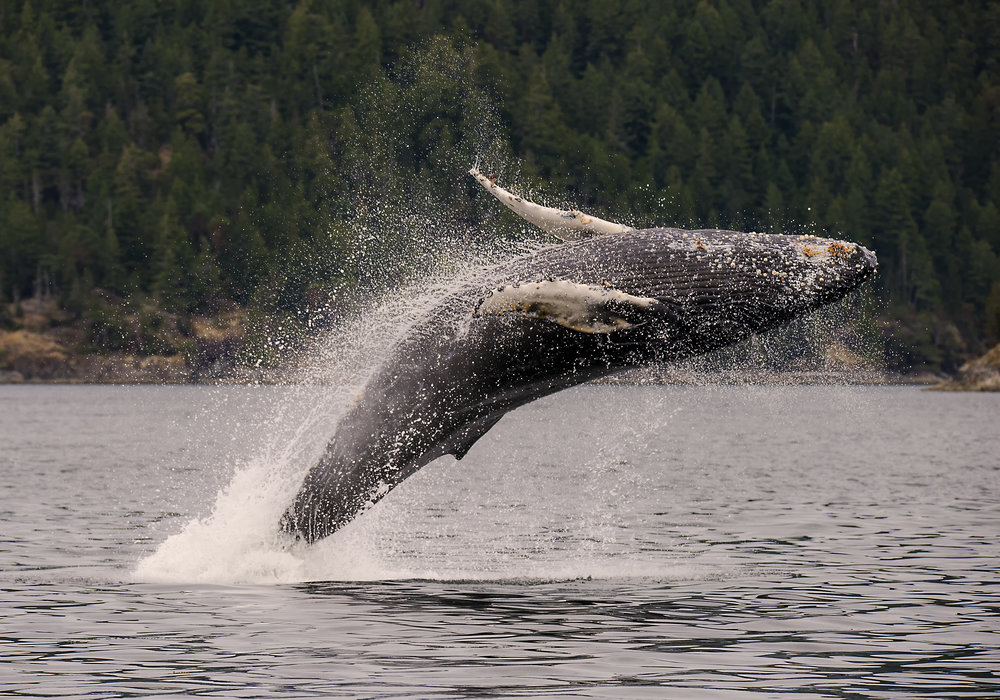 breaching humpback whale in the pacific for web.jpg