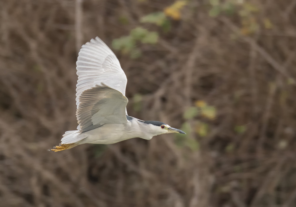 black crowned nigt heron.jpg