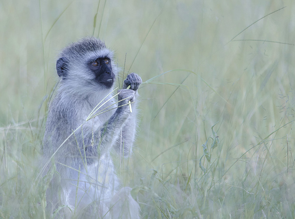 vervet monkey taken on a  Kevin Pepper Photography Photo Workshop