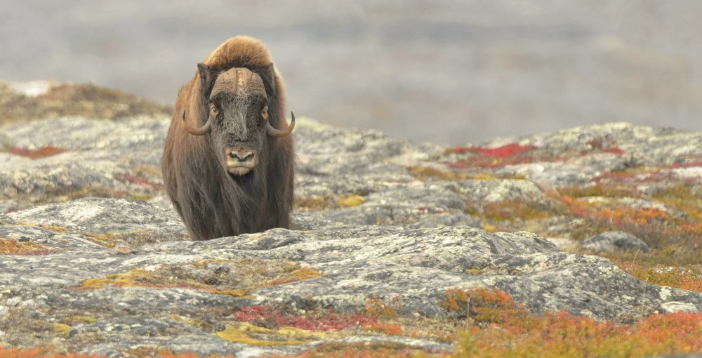A female Musk Oxen on the fall colours of the Tundra