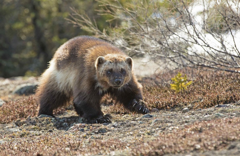 A Wolverine runs over the Tundra